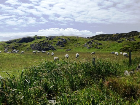 Flock of Sheep on Iona