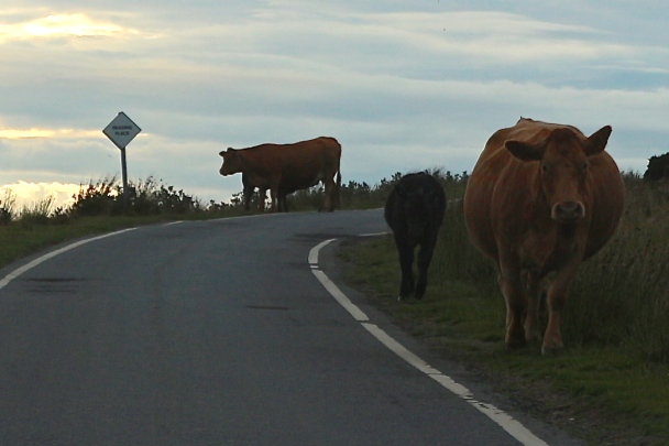Passing Place with Cows